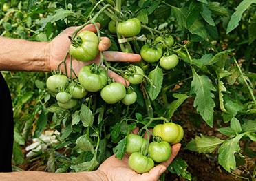 Inicio tomata de penjar for Asociacion de cultivos tomate