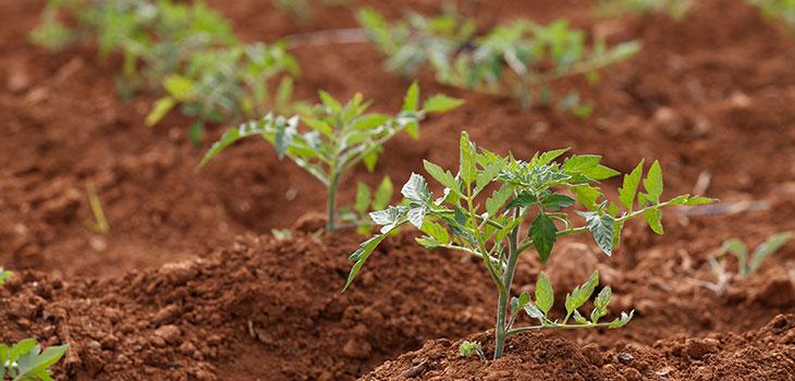 cultivo-tomates