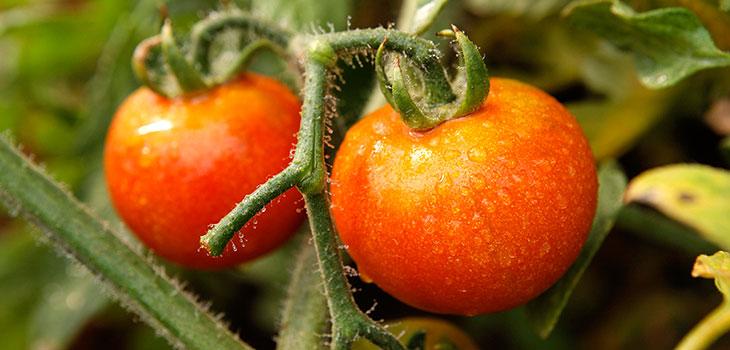 propiedades-tomate